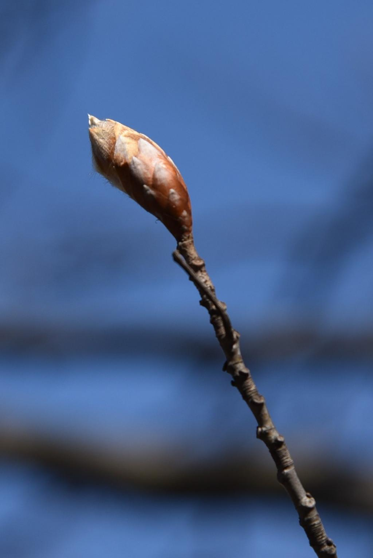 Fagus sylvatica 'Atropunicea' (Copper Beech), bud, terminal