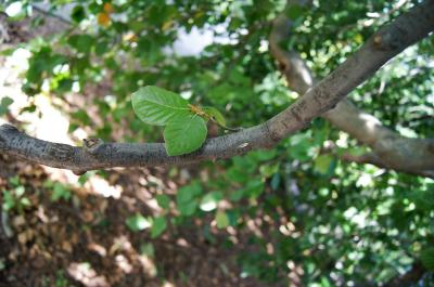 Fagus sylvatica 'Pendula' (Weeping European Beech), bark, branch