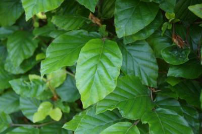 Fagus sylvatica (European Beech), leaf, summer