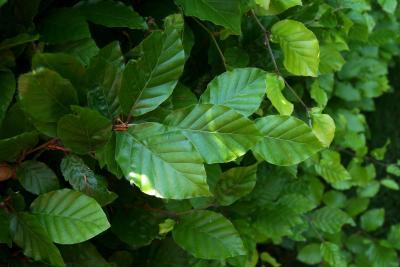 Fagus sylvatica (European Beech), leaf, upper surface