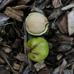 Carya cordiformis (Bitternut Hickory) , seed