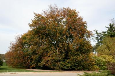 Fagus sylvatica (European Beech), habit, fall
