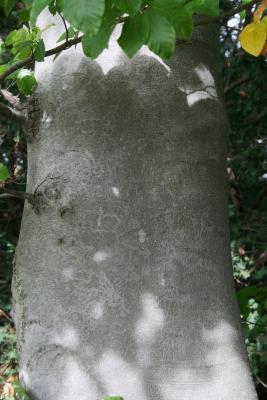 Fagus sylvatica (European Beech), bark, trunk