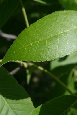 Carya ovata (Shagbark Hickory), leaf, upper surface