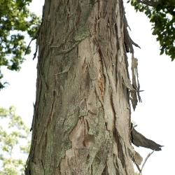 Carya ovata (Shagbark Hickory), bark, trunk