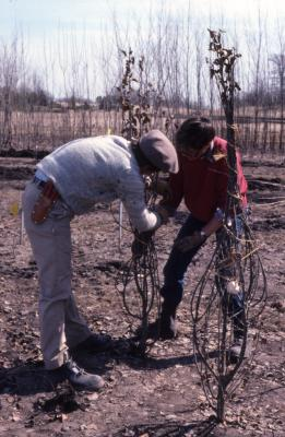 Kris Bachtell and Doris Taylor wrapping bare trees in nursery for transplanting