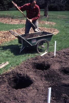 Bill Bergmann at wheelbarrow with shovel near planting holes, preparing rose beds
