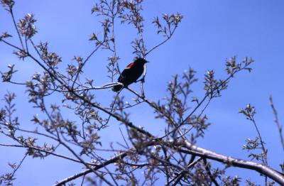 Red-winged blackbird (Agelaius phoeniceus) on branch in tree