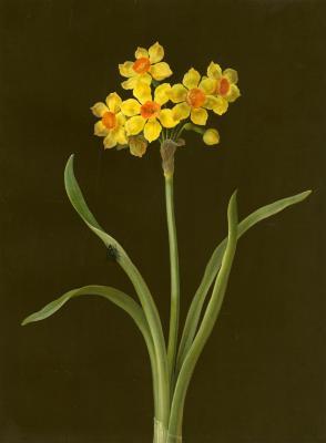 Narcissus (Tazetta cultivar)