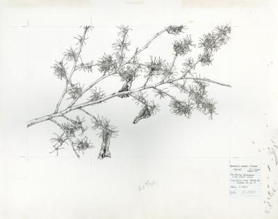 Hamamelis vernalis f. carnea