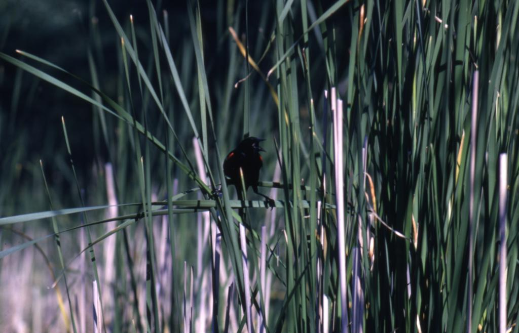 Male red-winged blackbird (Agelaius phoeniceus) on plant in Puffer Lake