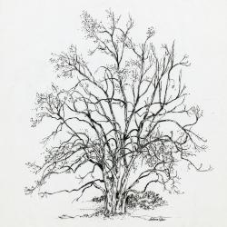 Treeology, Witch Hazel