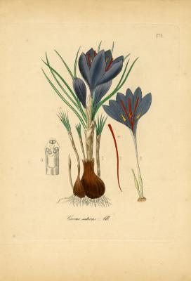 Medicinal plants of Germany [Pl. 276: Crocus sativus]
