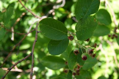 Amelanchier canadensis 'Prince William' (Prince William Canada Serviceberry PP6040), leaf, upper surface