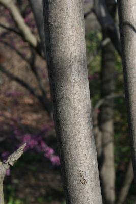 Amelanchier laevis (Allegheny Serviceberry), bark, trunk