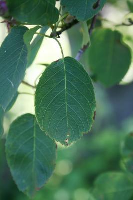 Amelanchier interior (Inland Serviceberry), leaf, upper surface