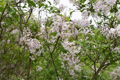 Syringa ×persica 'Alba' (Persian Lilac), inflorescence