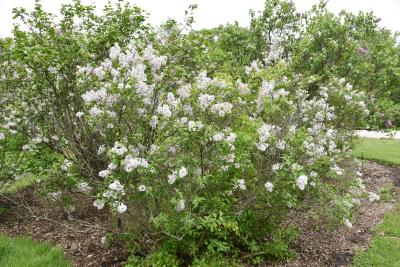 Syringa ×persica 'Alba' (Persian Lilac), habit, spring