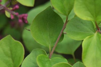 Syringa meyeri 'Palibin' (Palibin Lilac), leaf, spring