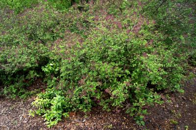 Syringa meyeri 'Palibin' (Palibin Lilac), habit, spring