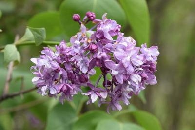 Syringa 'Swarthmore' (Swarthmore Lilac), inflorescence