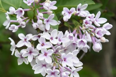 Syringa ×persica 'Alba' (Persian Lilac), flower, full
