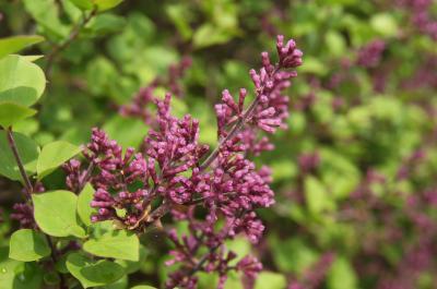 Syringa meyeri 'Palibin' (Palibin Lilac), bud, flower