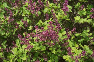 Syringa meyeri 'Palibin' (Palibin Lilac), inflorescence