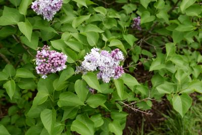 Syringa vulgaris 'Michel Buchner' (Michel Buchner Common Lilac), inflorescence