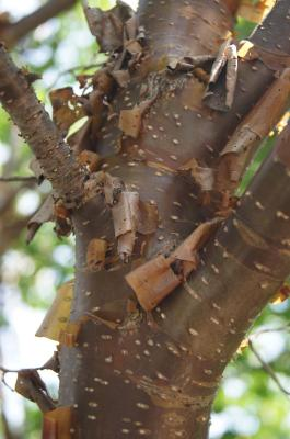 Syringa pekinensis 'Morton' (CHINA SNOW) (CHINA SNOW® Peking Lilac), bark, trunk