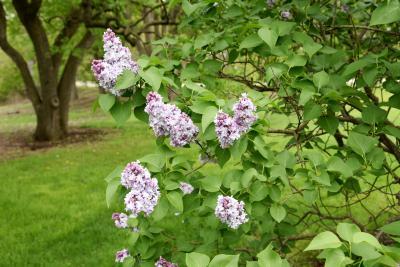 Syringa vulgaris 'Michel Buchner' (Michel Buchner Common Lilac), habit, spring