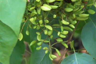 Syringa pekinensis (Peking Lilac), fruit, immature
