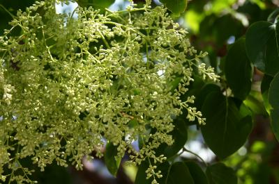 Syringa pekinensis 'Morton' (CHINA SNOW) (CHINA SNOW® Peking Lilac), inflorescence