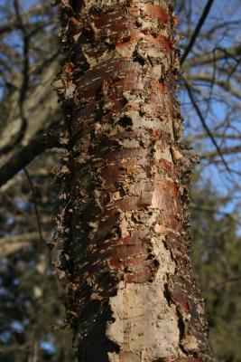 Syringa pekinensis (Peking Lilac), bark, mature