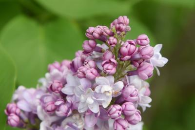 Syringa vulgaris 'Michel Buchner' (Michel Buchner Common Lilac), bud, flower