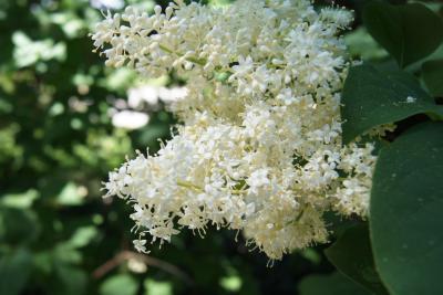 Syringa reticulata ssp. reticulata (Japanese Tree Lilac), flower, full