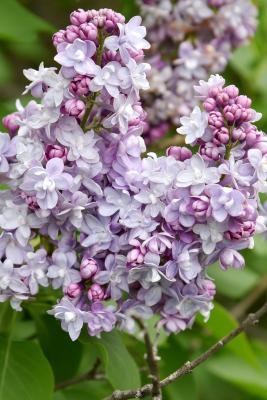 Syringa vulgaris 'Michel Buchner' (Michel Buchner Common Lilac), flower, full