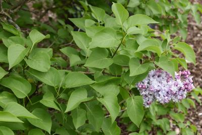 Syringa vulgaris 'Michel Buchner' (Michel Buchner Common Lilac), leaf, spring
