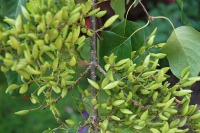 Syringa pekinensis (Peking Lilac), habit, summer