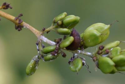 Syringa vulgaris 'Violetta' (Violetta Common Lilac), fruit, immature
