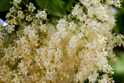 Syringa pekinensis 'Morton' (CHINA SNOW) (CHINA SNOW® Peking Lilac), flower, full