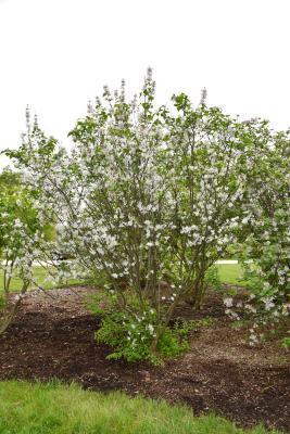 Syringa patula (Manchurian Lilac), habit, spring