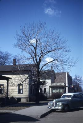 Magnolia acuminata (cucumbertree), habit, winter