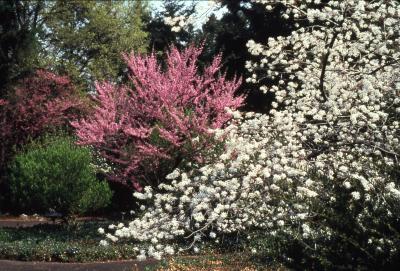 Magnolia (magnolia), full bloom