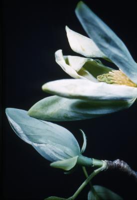 Magnolia acuminata (cucumbertree), blossoms detail