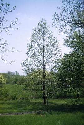 Magnolia acuminata (cucumbertree), habit, early spring