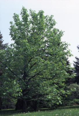 Magnolia acuminata (cucumbertree), habit, spring