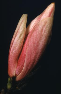Magnolia (magnolia), flower