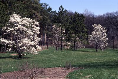 Magnolia (magnolia), habit, spring