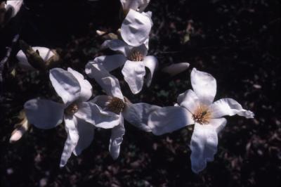 Magnolia kobus var. borealis (northern Japanese magnolia), flowers detail